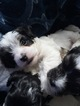 Puppy 4 Havanese-Poodle (Toy) Mix