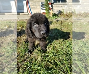 Newfoundland Puppy for Sale in AURORA, Indiana USA