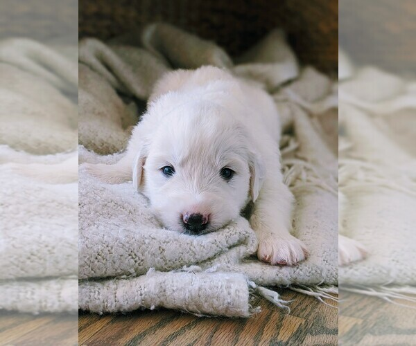 Medium Photo #8 Great Pyrenees Puppy For Sale in FALCON, CO, USA