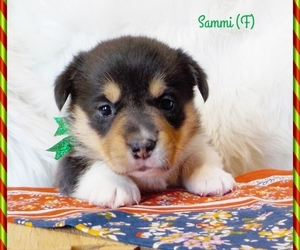 Pembroke Welsh Corgi Puppy for Sale in MANSFIELD, Missouri USA