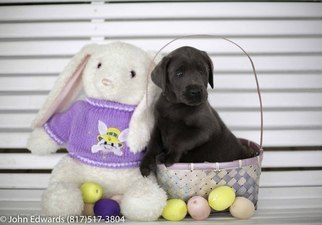 Labrador Retriever Puppy For Sale in MERIDIAN, TX