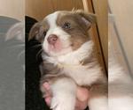 Puppy 3 Australian Shepherd-Border-Aussie Mix
