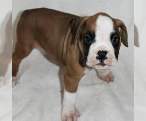 Boxer Puppy for sale in SINKING SPRING, PA, USA