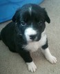 Border Collie Puppy For Sale in FARMINGTON, UT