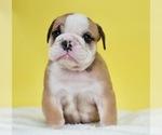 Puppy 10 English Bulldog