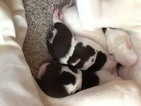 American Pit Bull Terrier Puppy For Sale in EXETER, ME,