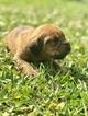 Puppy 1 Bloodhound