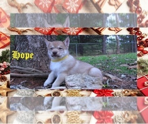 Siberian Husky Puppy for Sale in LAURENS, South Carolina USA