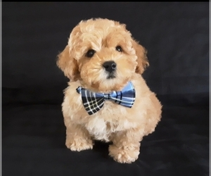 Poodle (Miniature) Puppy for Sale in MANCHESTER, New Hampshire USA