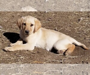 Labrador Retriever Puppy for sale in TWIN FALLS, ID, USA