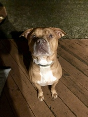 American Staffordshire Terrier Dog For Adoption in CHARLOTTE, NC, USA
