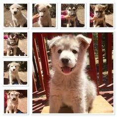 Medium German Shepherd Dog-Siberian Husky Mix
