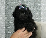 Puppy 2 Poodle (Toy)-Shih Tzu Mix