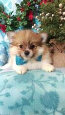 Beautiful Pomeranian Puppy