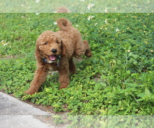 Goldendoodle Puppy for Sale in SARASOTA, Florida USA