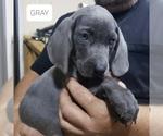 Puppy 5 Weimaraner