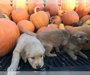 Golden Retriever Puppy for sale in GREELEY, CO, USA