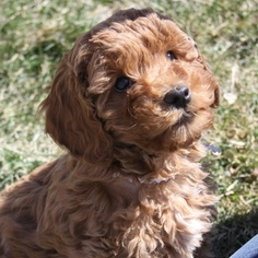 Australian Labradoodle-Unknown Mix Puppy for sale in PLEASANT GROVE, UT, USA