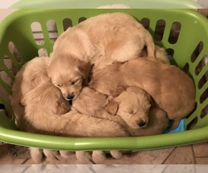Golden Retriever Puppy for sale in EATON, CO, USA