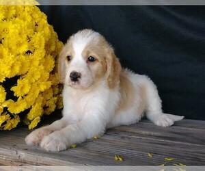 Labradoodle-Poodle (Miniature) Mix Dog for Adoption in FREDERICKSBG, Ohio USA