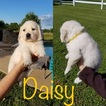 Golden Retriever Puppy For Sale in MOUNT PLEASANT, TX