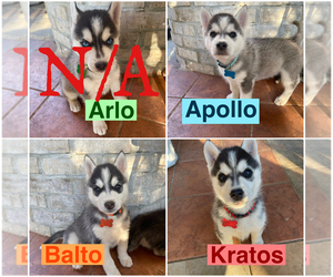 Siberian Husky Puppy for sale in SANGER, CA, USA