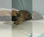 Small #32 Mastiff