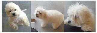 Maltipoo Puppy For Sale in FORT IRWIN, CA