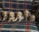 Golden Retriever-Poodle (Miniature) Mix Puppy For Sale in LOVELAND, CO, USA