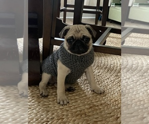 Pug Puppy for sale in DREWRYVILLE, VA, USA