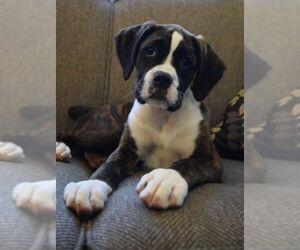 Boxer Puppy for sale in SENECA, KS, USA