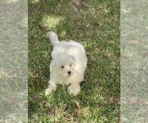 Mal-Shi Puppy for sale in FRANKLINTON, LA, USA