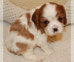 Cavalier King Charles Spaniel Puppy For Sale in MONTGOMERY, TX, USA