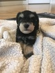 Schnauzer (Miniature) Puppy For Sale in TRYON, NC, USA