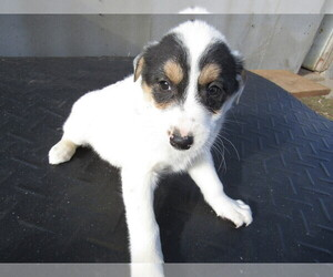 Australian Cattle Dog Puppy for sale in INDIANAPOLIS, IN, USA