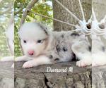 Puppy 3 Miniature Australian Shepherd