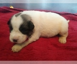 Puppy 1 Anatolian Shepherd-Great Pyrenees Mix