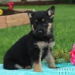 German Shepherd Dog Puppy For Sale in GAP, PA, USA