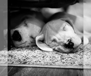 Dogo Argentino Puppy for Sale in HAYWARD, California USA