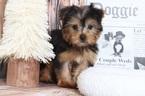 Yorkshire Terrier Puppy For Sale in BEL AIR, MD, USA