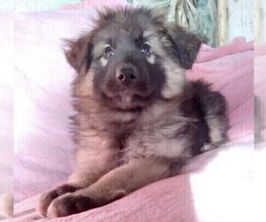King Shepherd Puppy for Sale in YUCCA VALLEY, California USA
