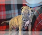 Puppy 8 American Pit Bull Terrier-Belgian Malinois Mix