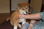 Akita Puppy For Sale in AGRA, OK