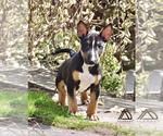 Small #10 Miniature Bull Terrier