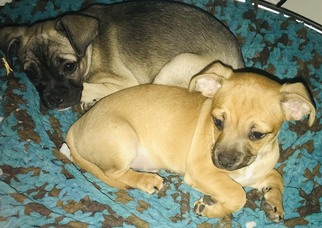 Buggs-Chiweenie Mix Puppy For Sale in FORNEY, TX, USA