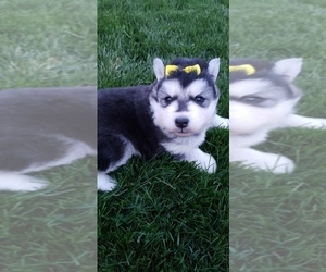 Siberian Husky Puppy for sale in OTTAWA, OH, USA