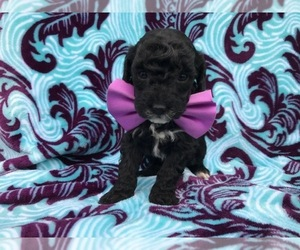 Poodle (Miniature) Puppy for sale in OXFORD, PA, USA