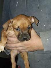 Staffordshire Bull Terrier Puppy For Sale in BROOKLYN, MD, USA