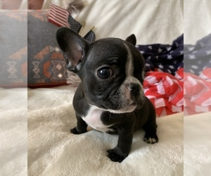 French Bulldog Dog for Adoption in JOHNS ISLAND, South Carolina USA