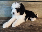 Miniature Bernedoodle Puppy For Sale in KENSINGTON, OH, USA